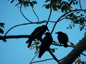 three-crows